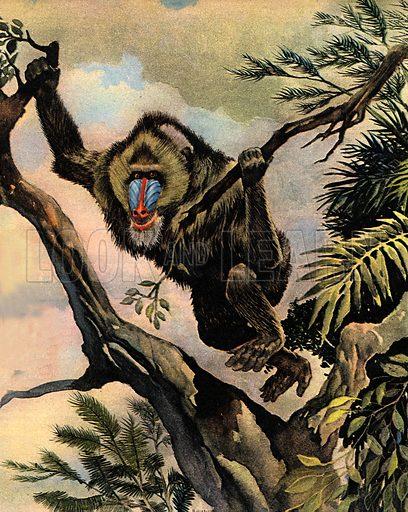 Wonders of Nature: The Monkey Shepherd. The Mandrill.