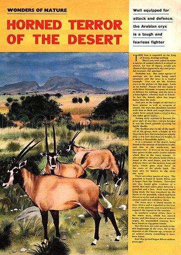 Wonders of Nature: Horned Terror of the Desert -- the Arabian Oryx.