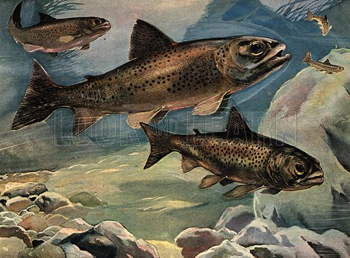 Wonders of Nature: A Tough Fish is Tommy Trout.