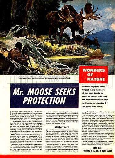 "Wonders of Nature: Mr. Moose Seeks Protection. ""A bull moose, with antlers in their full glory, looks suspiciously at the crouching photographer and his camera.""."