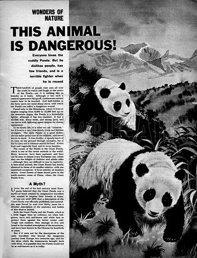 """Wonders of Nature: This Animal is Dangerous! """"Everyone loves the cuddly Panda, but he dislikes people, has few friends, and is a terrible fighter when he is roused.""""."""