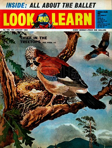 Thief of the Treetops: the jay is one of the most intelligent of birds. It is only its curiosity that makes it a thief.
