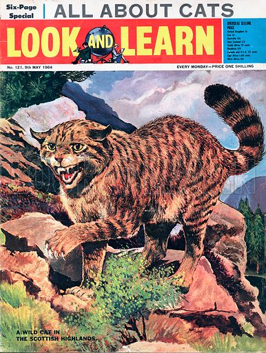 A Wild Cat of the Scottish Highlands.