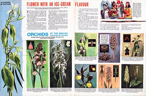 Wonders of Nature: Flower with an Ice-Cream Flavour -- Orchids of the English Countryside.