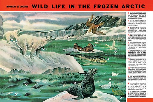 Wonders of Nature: Wild Life in the Frozen Arctic. Professionally re-touched image.