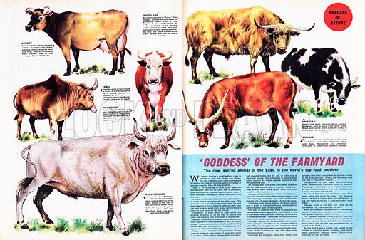Wonders of Nature: 'Goddess' of the Farmyard -- the cow.