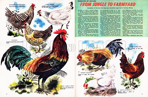Wonders of Nature: From Jungle to Farmyard. Ancestors of the bird that lays our breakfast egg lived in faraway Malaya.