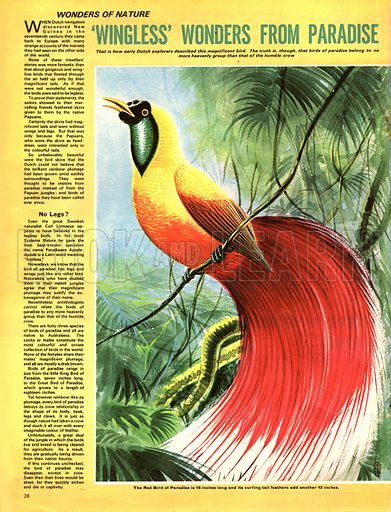 Wonders of Nature: 'Wingless' Wonders from Paradise -- birds of paradise.