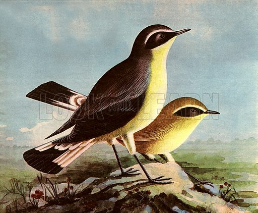 Wonders of Nature: Watch Out for the Wheatear.