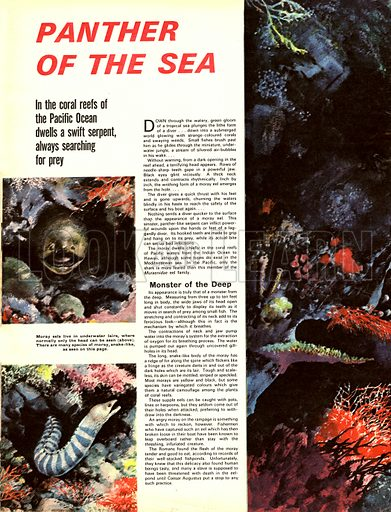 Panther of the Sea. In the coral reefs of the Pacific Ocean dwells a swift serpent, always searching for prey -- the Moray Eel.