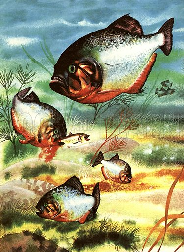Terror of the Rivers -- the Piranha.