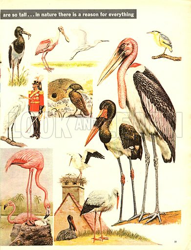 Long Legs and Fine Feathers -- the Stork family.