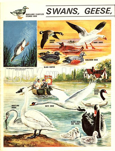 Swans, Geese and Ducks.