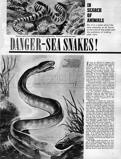 In Search of Animals: Danger -- Sea Snakes!.