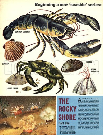 Creatures Around Our Coasts: The Rocky Shore.