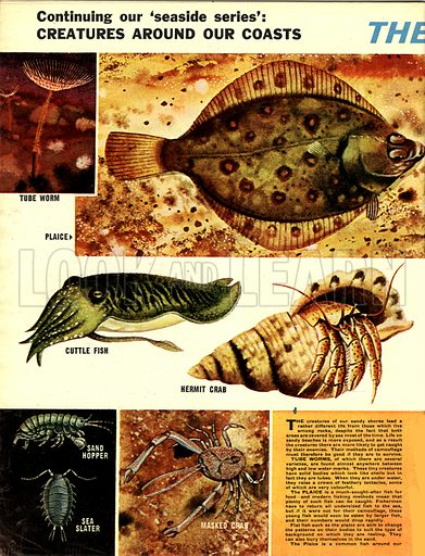 Creatures Around Our Coasts: The Sandy Shore.