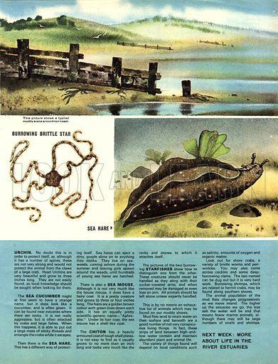 Creatures Around Our Coasts: The Muddy Shores.