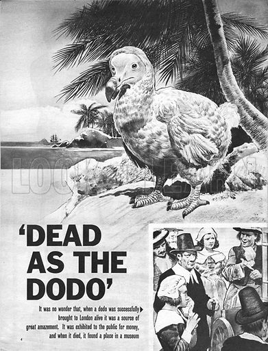 """""""Dead as a Dodo"""". It was fat, lazy and could eat anything... no wonder when the dodo was successfully brought to London alive it was a source of great amazement. it was exhibited to the public for money and, when it died, it found a place in a museum."""