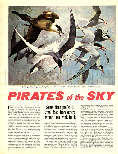 Pirates of the Sky: The Skua -- Some birds prefer to steal food from others rather than work for it.
