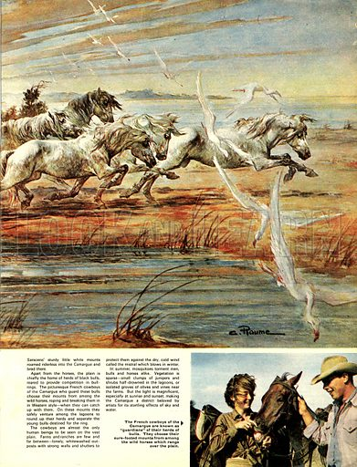 """Horses on the Carmargue. """"I heard a sudden harmony of hooves, And, turning, saw afar, A hundred snowy horses unconfined..."""" -- Roy Campbell."""