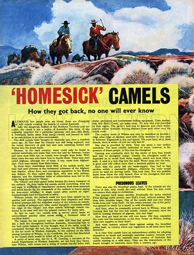 'Homesick' Camels. Wild camels roam the Australian outback -- but how they got there, no one will ever know.