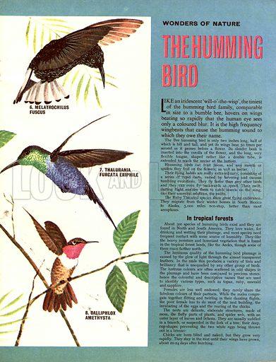 Wonders of Nature: The Humming Bird.