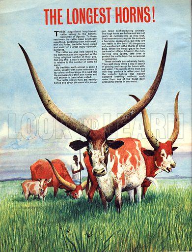 The Longest Horns! ... Belong to the Bahima long-horned cattle of Uganda.