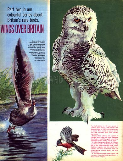 Wings Over Britain. Arctic Snowy Owl, Graylag Goose and Dartford Warbler.