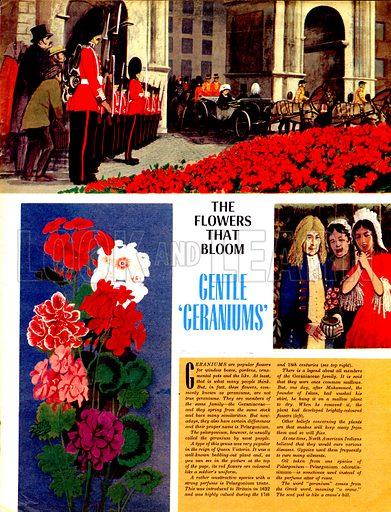 The Flowers That Bloom: Gentle 'Geraniums'.