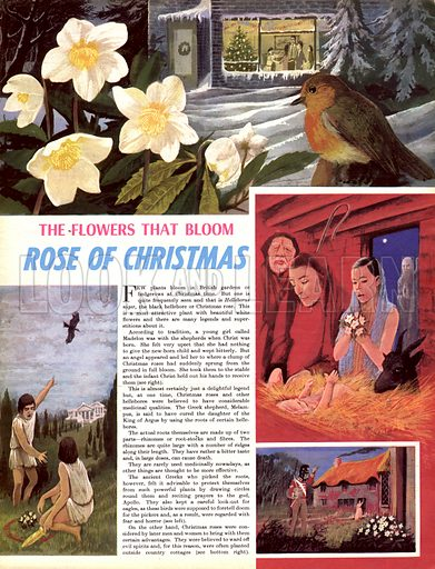 The Flowers That Bloom: Rose of Christmas.