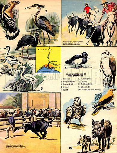 The Delta's Birds and Bulls (The Camargue).
