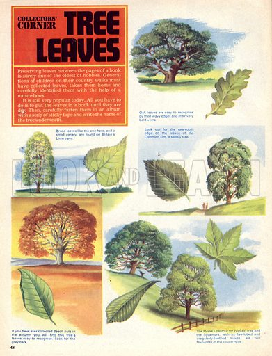 Collectors' Corner: Tree Leaves. Varieties of British trees and their leaves including: Oak, Lime, Common Elm, Beach, Horse Chestnut and Sycamore.