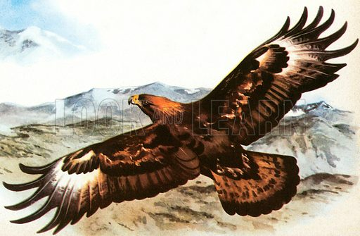Golden Eagle. The female adult has six foot wingspan.