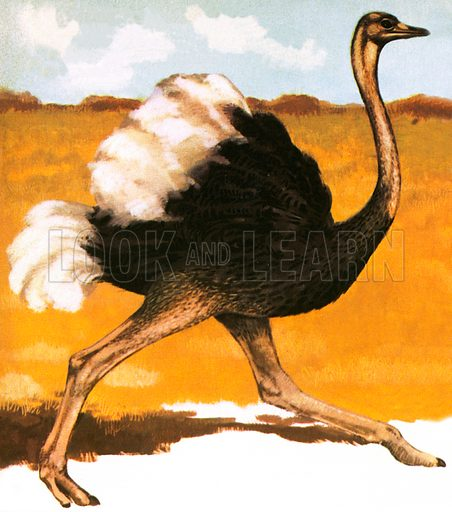 Ostrich stands over six feet tall. It lives in desert like areas of Africa. They usually lay upto 10 eggs.