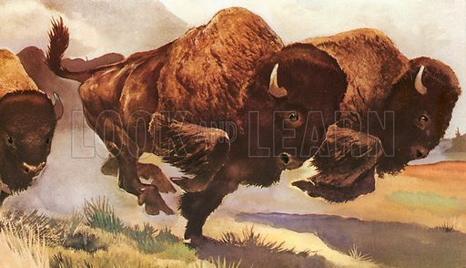 Bison. Native Americans used Bison for food and used their hides for clothes and teepees.