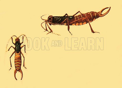 Earwigs - Look and Learn History Picture Library