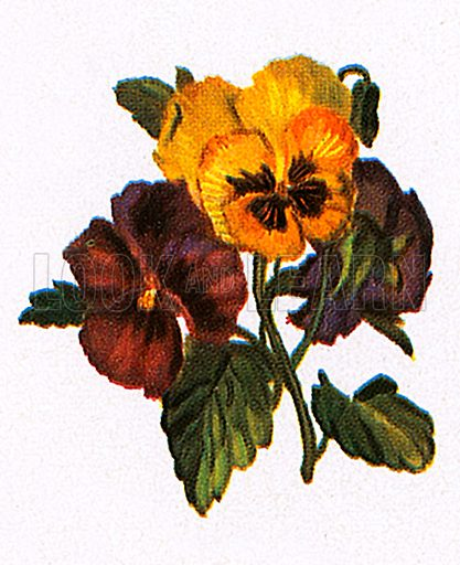 """The pansy gets its from the French """"pensée,"""" meaning thought, because people thought the flower looked like a pensive human face."""