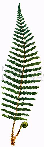 Bracken is one of the planet's most common ferns.