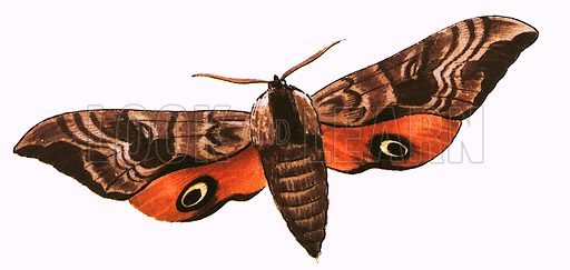 Eyed Hawk Moth,  picture, image, illustration
