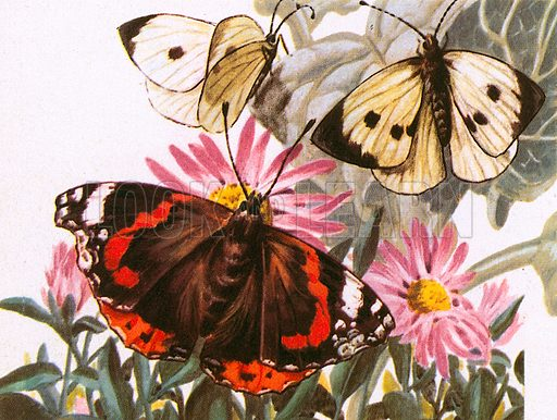 Red Admirals are one of the most common British butterflies.