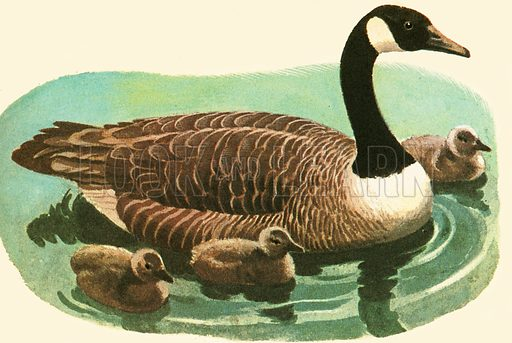 There are about forty species or kinds of geese and they are found all over the world. The Romans kept sacred geese which once saved the City by honking when it was being secretly attacked at night by the Gauls. You can recognize a goose in flight by the way in which it sticks out its long neck.