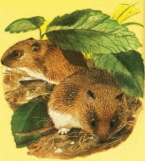 There are three kinds of Vole: the Field Vole, the Bank Vole and the Water Vole. When attacked, Water Voles run along the bottom of the stream or river and raise a cloud of mud that acts as a smoke screen. These animals belong to the class of rodents.