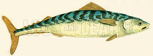 With its pointed head and smooth, cigar-shaped body, the mackerel is one of the fastest swimmers.  Mackerel must swim continuously all their lives. If they stop swimming, they will choke because not enough water will pass over their gills. Mackerel lay eggs that hatch on the surface of the water.