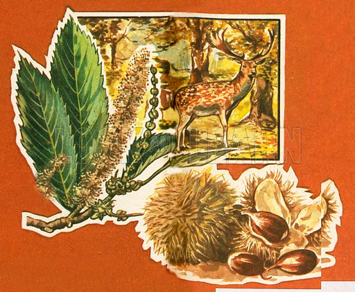 Sweet chestnut trees live for about 500 years. Deer are very fond of the leaves of this tree which bears nuts held in a bristly covering.