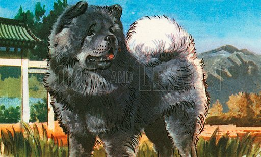 The dog in the picture is a black Chow Chow. Some Chows are blonde. Chows have blue tongues. This dog has a dense coat, a ruff around its neck and a wonderful sense of direction.