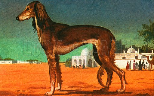 The Afghan Hound is a very old breed that has been in existence for 5,000 years. It is related to the famous English greyhound. This dog was originally bred for hunting. It stands 29 inches high at the shoulder and weighs 66 pounds.