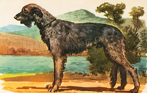 The Irish Wolfhound is also known as the Irish Greyhound or Irish Elk-hound. It was originally bred for hunting elks and wolves. This is one of the giants of the dog world.