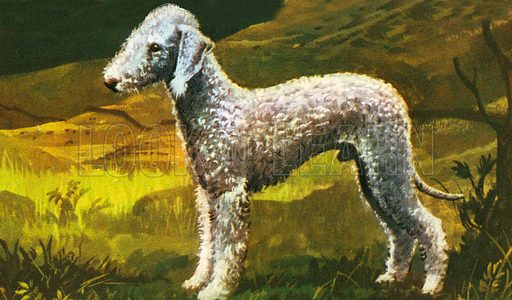 Bedlington Terrier, this dog that looks like a woolly lamb was once a great favourite with miners. It was used to hunt badgers and otters. It is related to the whippet. Its coat is thick and woolly to keep it warm and dry when swimming after otters.