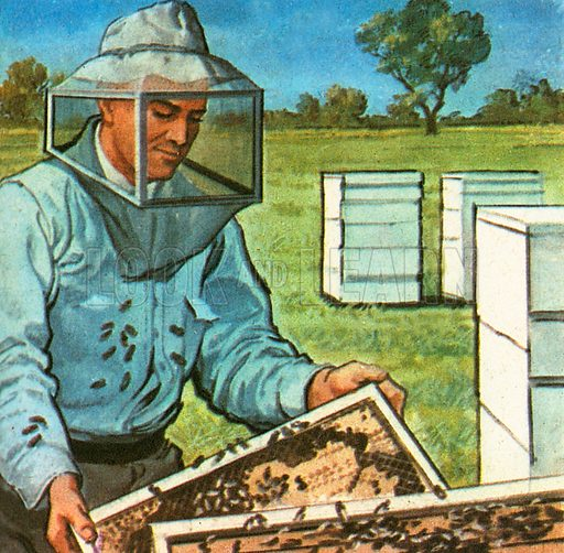 Beekeeping is also called apiculture. The apiarist in the picture is wearing special protective clothing to remove a honey comb from a hive. The word 'hive' comes from the Anglo-Saxon word Hiw, meaning a house.
