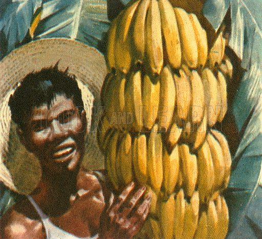 Bananas are the number one fruit (by volume) in international trade. Bananas are picked green because of the distance they have to travel. They actually ripen better in artificial conditions. Ecuador is the world's number one exporter of bananas.